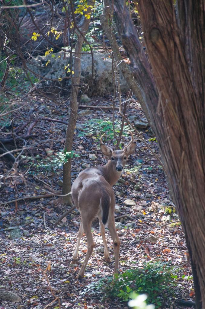 Austin TX Deer