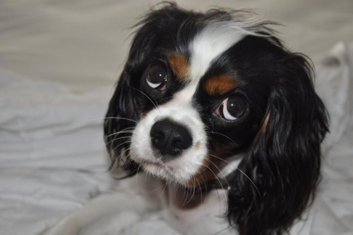 Sophie the Cavalier