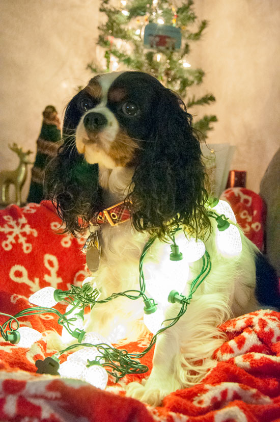 Cavalier in lights