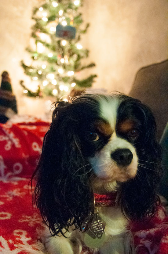 Cavalier king Charles at Christmas time