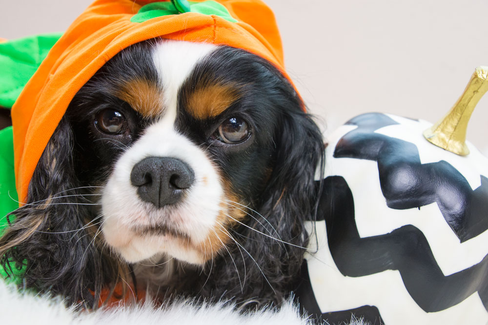 Dog costume- pumpkin